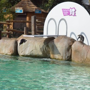 London Zoo penguins celebrate 2012 games with custom-built diving board