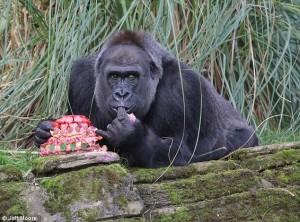 Fabulous at 40 for gorilla at @zsllondonzoo