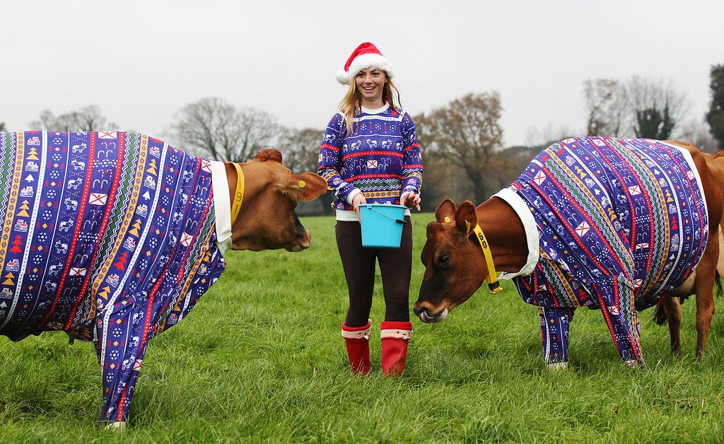Farmer dresses cows in Christmas Jumpers for Visit Jersey